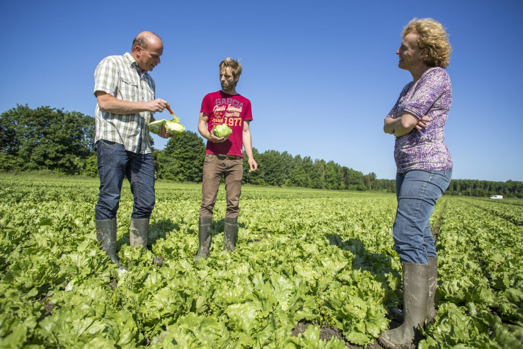 Rijk Zwaan lettuce seeds for organic production