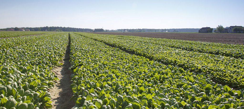 Rijk Zwaan spinach varieties