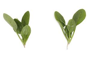 Cabecon RZ - Spinach