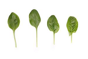 Hornbill RZ - Spinach
